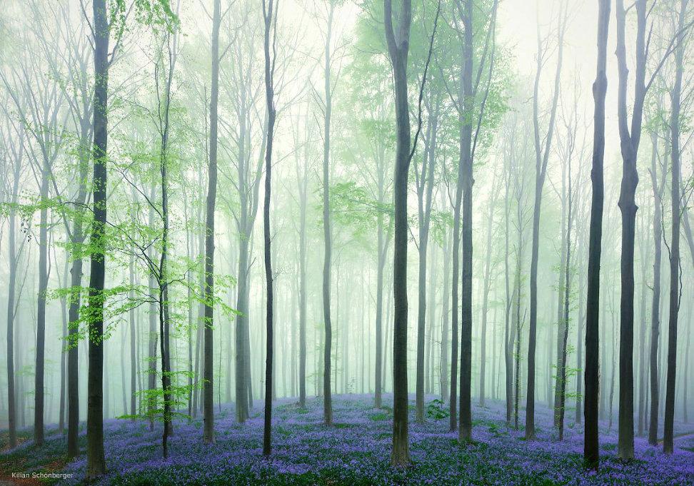 hallerbos-blue-bells-2.jpg