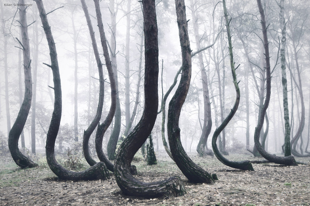 The Crooked Forest / Poland