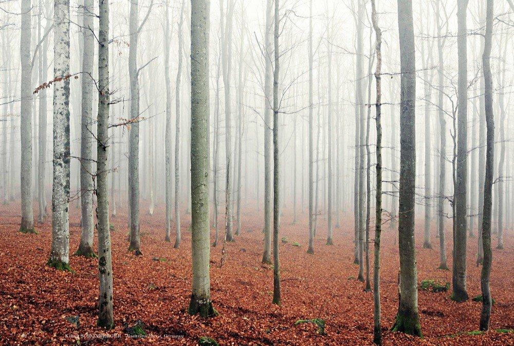 beech forest fog buchenwald nebel